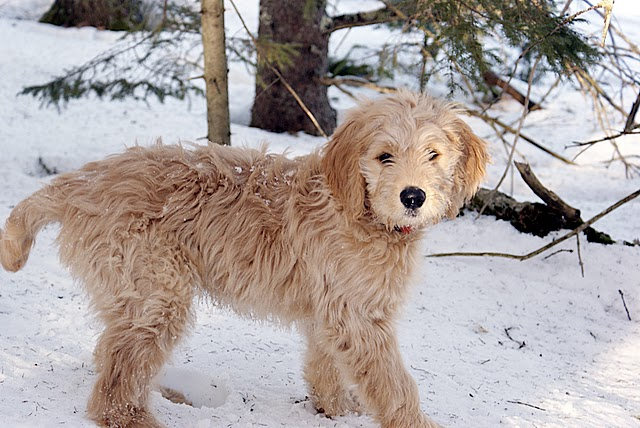 Jean Beliveau Dog Breeder
